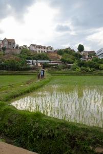 rizière,