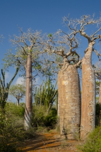 baobab,