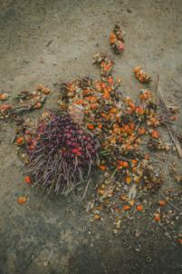 noix de palme sur le sol,mission humanitaire